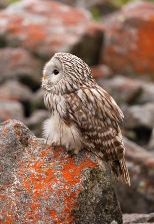 nocturnal: Strix uralensis nocturnal owl Stock Photo