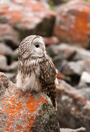 Strix uralensis, nocturnal owl living in Europe and Asia Stock Photo