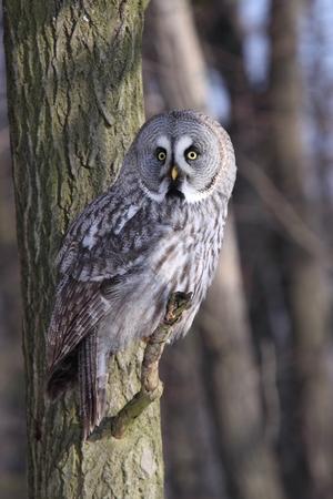 Great Grey Owl or Lapland Owl, lat. Strix nebulosa  photo