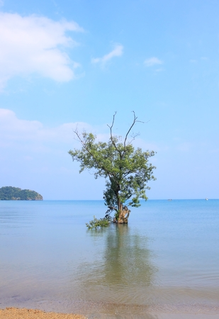 Mangrove tree growing on saline coast, Andaman Sea, Thailand Stock Photo