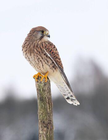raptorial:  Kestrel, lat  Falco tinnunculus on the pole