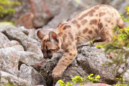 Puma concolor cub called mountain lion in forest