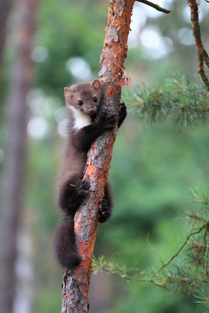 head stones: Marten beech, lat. Martes foina  on the pine tree