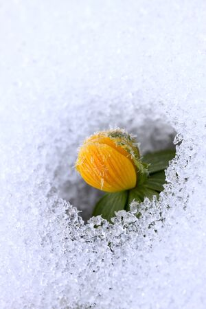 Winter Aconite, lat. Eranthis hyemalis in snow Stock Photo