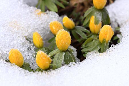 Winter Aconite, lat. Eranthis hyemalis in snow Archivio Fotografico