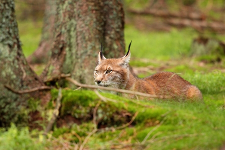 lurk: Eurasian Lynx,  lat. Lynx lynx, front  view Stock Photo