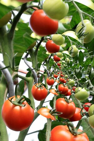 Tomatoes in the greenhouse, fitered Stock Photo