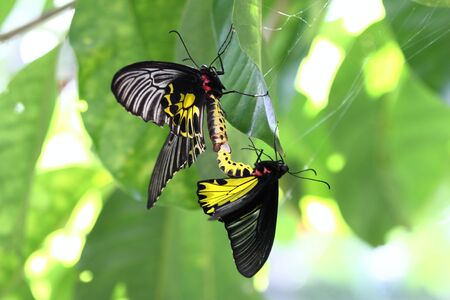 Golden Birdwing butterfly lat. Troides aeacus reproduction Stock Photo