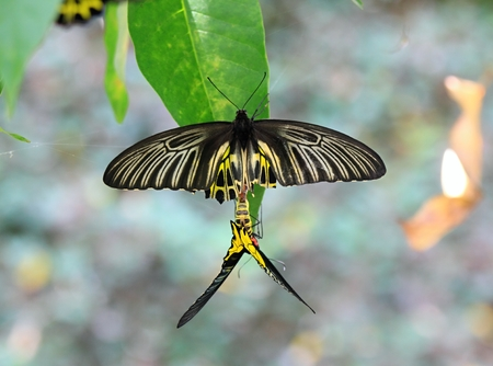 Golden Birdwing butterfly lat. Troides aeacus reproduction Imagens