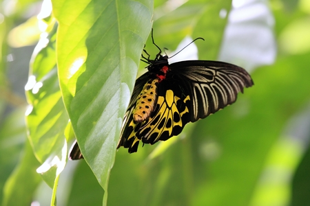 Golden Birdwing butterfly lat. Troides aeacus, female