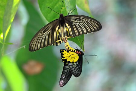 reproduction: Golden Birdwing butterfly lat. Troides aeacus reproduction Stock Photo
