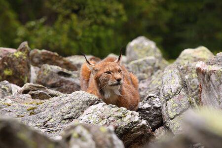 lince: Retrato de Lynx lynx macho, vista frontal