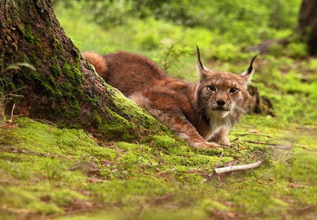 lurking: Male Eurasian Lynx lurking in the clearing Stock Photo