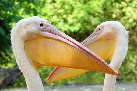 Pelican, lat. Pelecanus onocrotalus