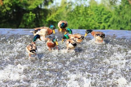 weir: Male of wild ducks, lat.  Anas platyrhynchos, at the weir Stock Photo