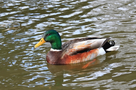 anas platyrhynchos: Male of wild duck, lat.  Anas platyrhynchos, in the river