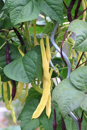 runner bean: Violet and yellow runner beans Stock Photo