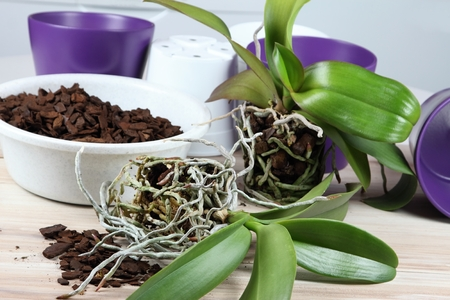 replanting: Orchid replanting, lat. Phalaenopsis Cascade Stock Photo