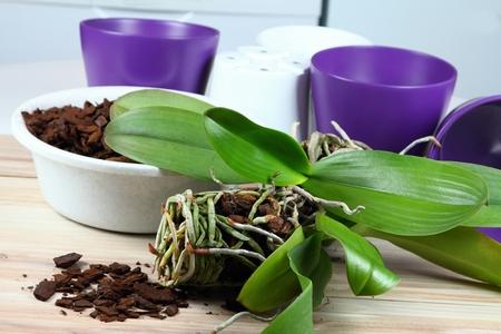 replanting: Orchid replanting,  lat. Phalaenopsis Cascade Stock Photo