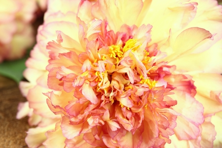 tree peony: Peony background. Mountain tree peony. Chinese tree peony. Yellow and orange tree peony. Peony on wooden background. Floral background. Floral background from peonies. Paeonia suffruticosa. Stock Photo