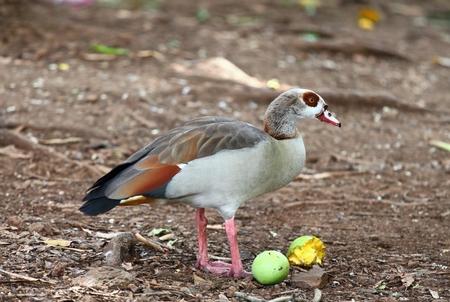 alopochen: Everybody likes mango. Egyptian goose eating ripe mango, photo taken in Mauritius