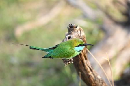 Little green bee-eater, Merops orientalis, Sri Lanka, Asia