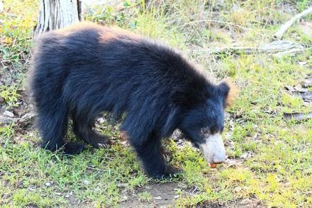 oso perezoso: Oso perezoso, también conocido como oso pegajoso y oso labrado, lat. Melursus ursinus, por la tarde en el parque nacional Wilpattu, Sri Lanka