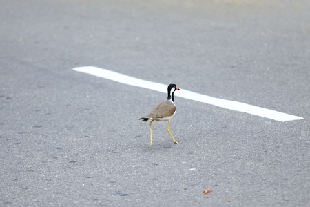 Be aware of road traffic, Red-watted Lapwing, Vanellus indicus lankae, Sri Lanka