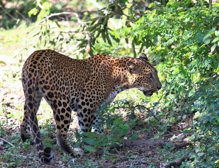 spotted fur: Sri Lankan leopard,  Panthera pardus kotiya,  going through wildlife. Big spotted cat in jungle at Sri Lanka