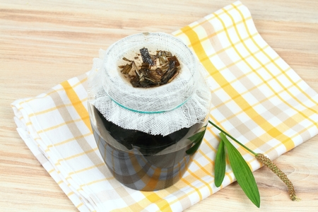 Filtering of plantain syrup against cough. Homemade ribworth plantain (Plantago lanceolata) syrup made from plantain leaves and sugar