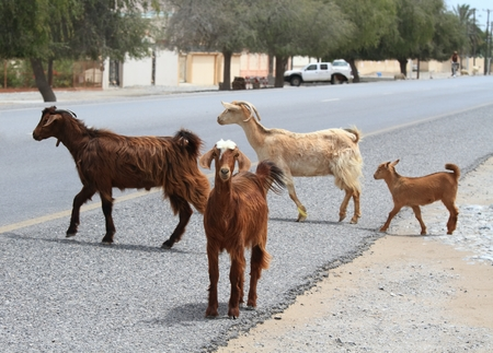 Cashmere goats and sheep crossing the road. Goat and sheep herd going out at feed, Oman Stok Fotoğraf