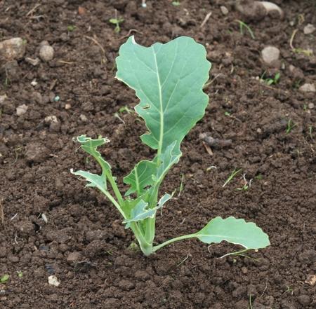 Kohlrabi damaged by snails. Slug damage on young green kohlrabi leaves, organic agriculture