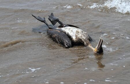 Dead cormorant on the seashore. Carcass of cormorant on sandy beach and the sea