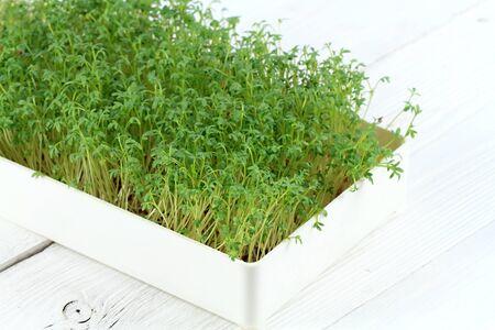Garden cress in a box on white background. Young cress, Lepidum sativum, also called mustard and cress, garden pepper cress, pepperwort or pepper grass. Stockfoto