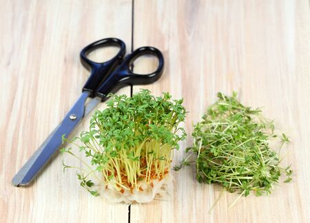 Garden cress is cut with scissors. Fresh cress growing from cotton pad , brown table. Also called mustard and cress, garden pepper cress, pepper wort or pepper grass. Standard-Bild