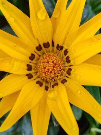 Close up of a yellow flower. Macro shot Archivio Fotografico - 130779608
