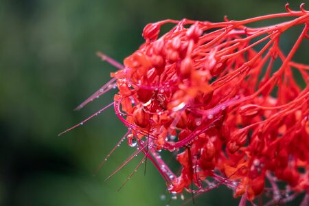 Water drops on a red flower. Close up shot Archivio Fotografico - 130779617