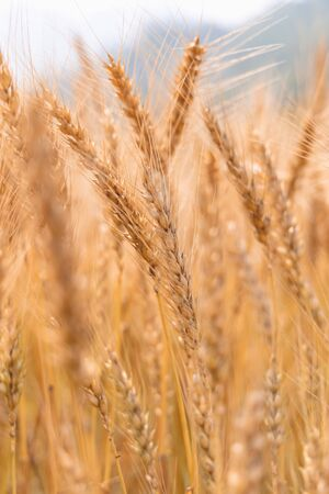 Golden Cornish Barley crops in a field ready for harvest