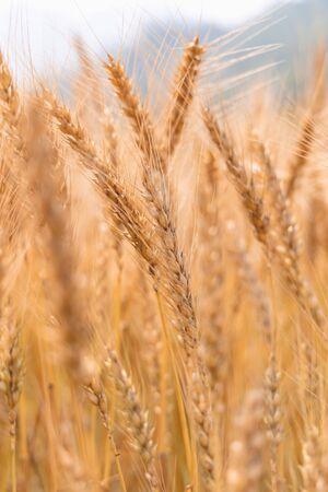 Les cultures d'orge de Cornouailles dorées dans un champ prêt pour la récolte