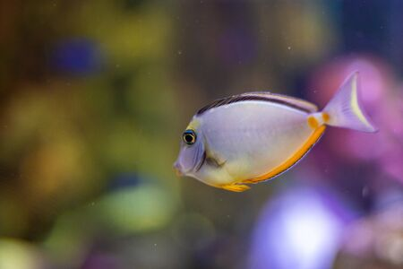 Orange-spine unicornfish (Naso lituratus), also known as the masked unicornfish.