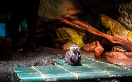 An oriental small-clawed otter / Aonyx cinerea / Asian small-clawed otter at SeaLife Ocean World Bangkok