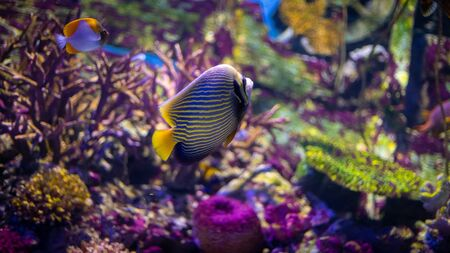 Emperor angelfish (Pomacanthus imperator) swimming over a coral reef with anthias in the background. Stock Photo