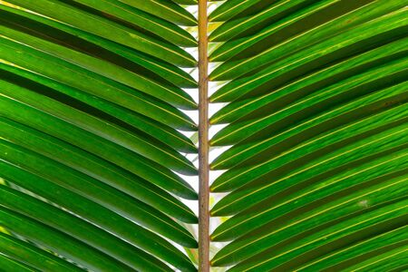 Pattern of green palm tree leaves