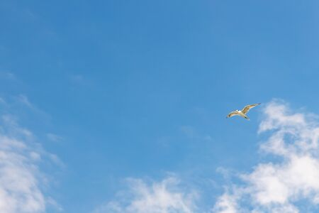 A seagull flying against blue sky and white clouds. Free bird freedom concept. There's copy space for text.