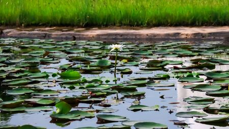 White Lotus Flower blooming in a pond