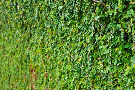 Green leaves on a wall background or texture