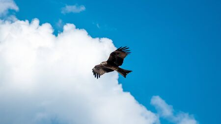Indian Spotted Eagle flies against the clear blue sky and white clouds Reklamní fotografie