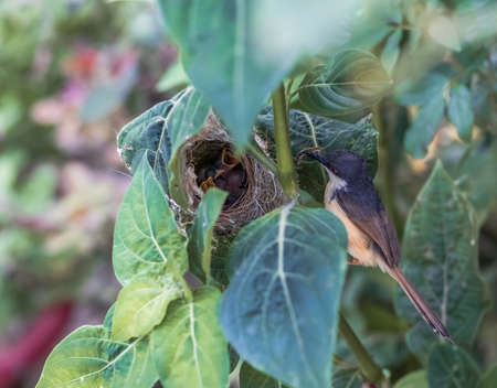 Ashy Wren Warbler (Prinia Socialis) feeds young hungry fledglings in the nest