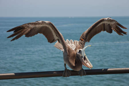 A close up of a pelican eatting a fish. Stock Photo - 5106632