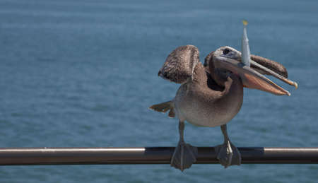 A close up of a pelican eatting a fish. Stock Photo - 5106633